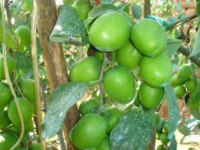 Mauritiana  Indian Jujube Tree seeds  fruit seeds for home garden