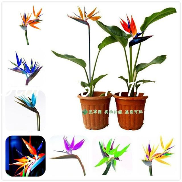 100 Pcs Houseplants Strelitzia Reginae Long Flowering Bird Of