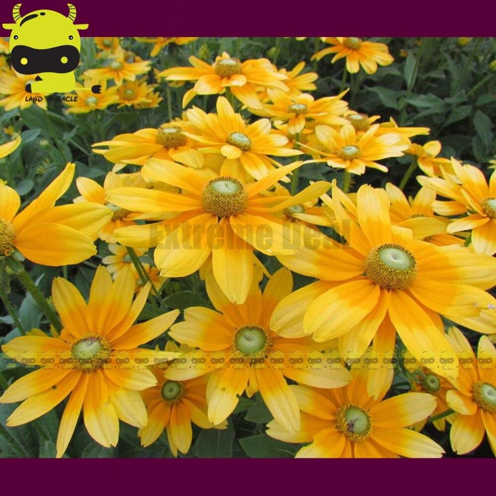 Giant Orange Yellow Coneflower Seeds 100 Seedspack Echinacea