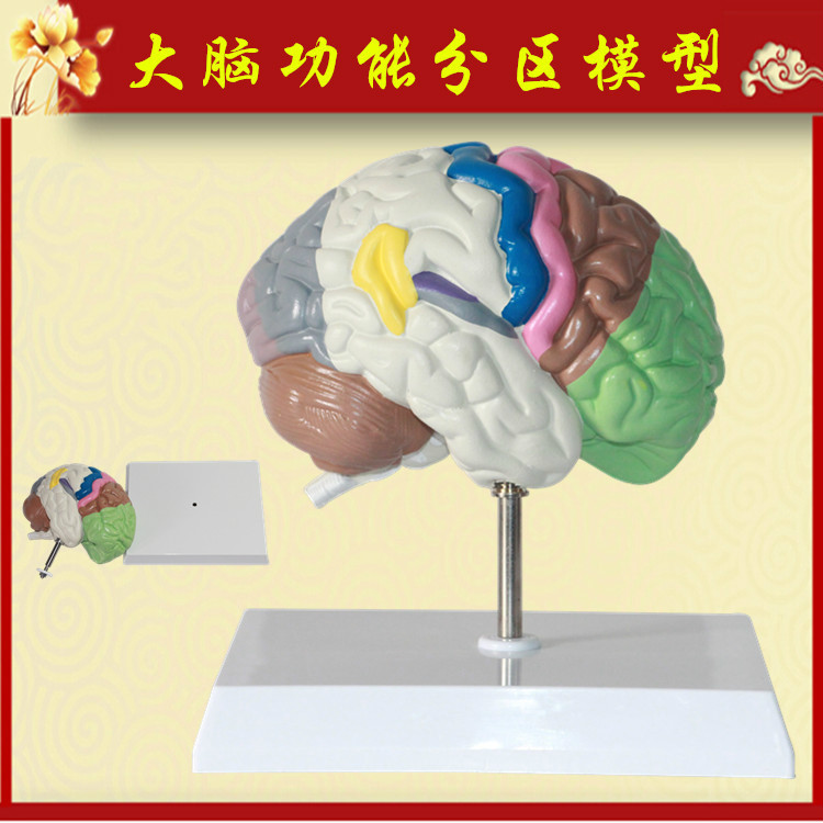 1:1 Life Size PVC Big Brain Anatomy Model Colored Brain Functional ...