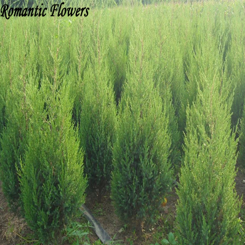 50pcs / bag Cypress Seeds, Roads Green Plants Vertical