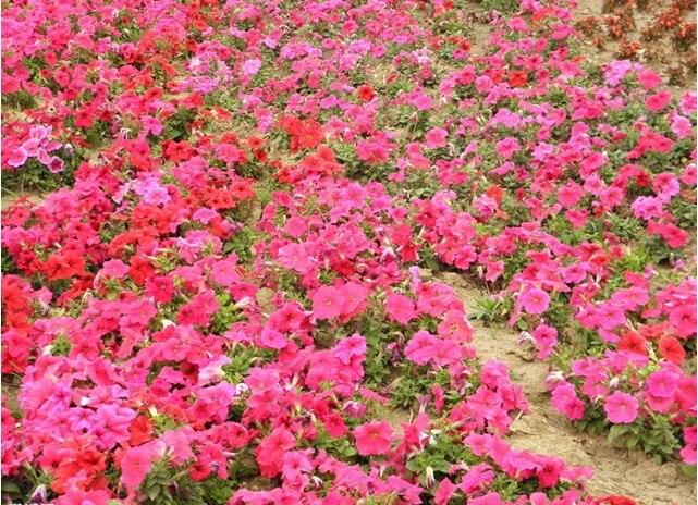 edde4b97e Petunia Rosa Peony semillas de morning glory azul invierno Ganoderma  lucidum 100 semillas paquete