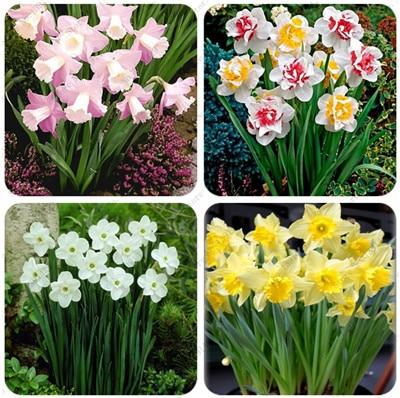 11.11 Promotion!!! 1 True Narcissus Bulbs, Daffodil Bul