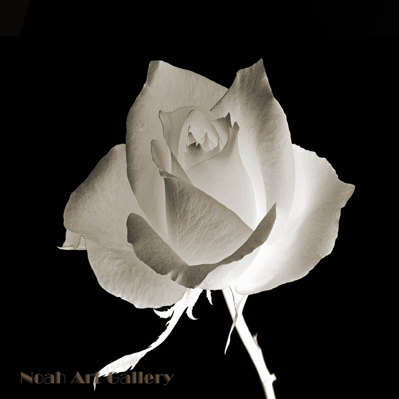 3pcs black background for white rose modern canvas art flower 3pcs black background for white rose modern canvas art flower painting high definition print for home wall decoration frameless in painting calligraphy mightylinksfo