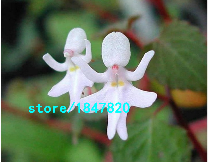 GGG World Top Rare Orchids Seeds Mixed Color Potted Orchids Flowers Seeds for Plant Home Garden 100PCS