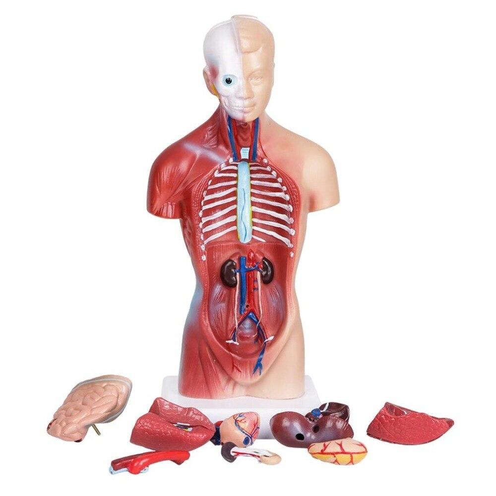 Cinza anatomia modelo anatômico corpo humano corpo modelo órgão ciência médica esqueleto humano anatomia cartazes