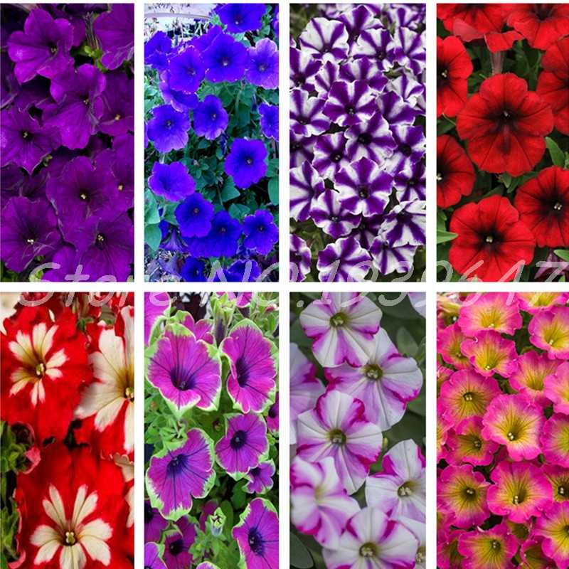 200 pcs Rare Colour Petunia plant Bonsai Flower plant Short Height Garden Perennial Flowers plant Indoor & Ourdoor Plant Pot