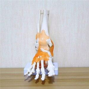 Image 4 - 23x21x11cm ludzkie 1:1 szkielet więzadło stóp kostki wspólne Anatomi cal anatomia Model nauczania medycznego