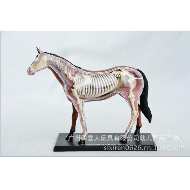 Tienda Online Montado Animado Caballo Anatomía Médica Anatómica ...