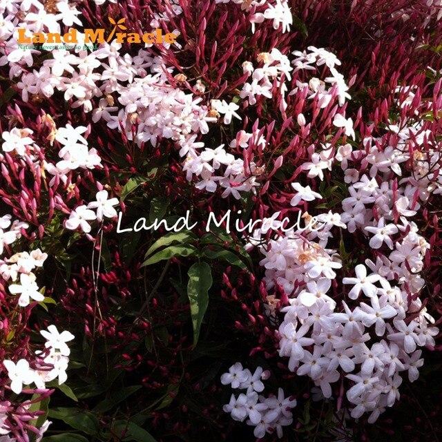 Land miracle heirloom 100 true orange jasmine shrub with fragrant land miracle heirloom 100 true orange jasmine shrub with fragrant white flower seeds 10 mightylinksfo