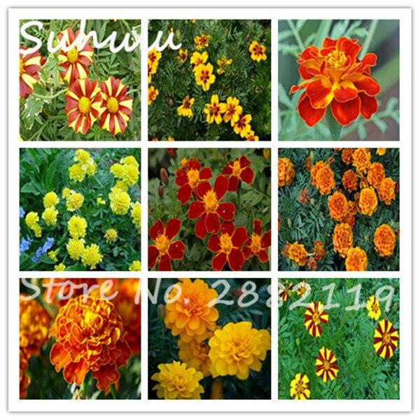 100 partikel tagetes patula samen seltener schöne blumen samen Exotischen pflanzen Französisch Ringelblume samen diy zuhause garten pflanzen