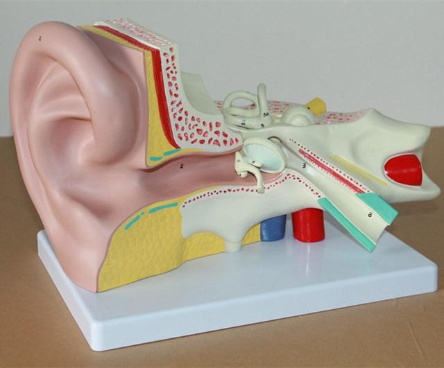 Anatomía del oído interno laberinto sistema auditivo humano Modelo ...