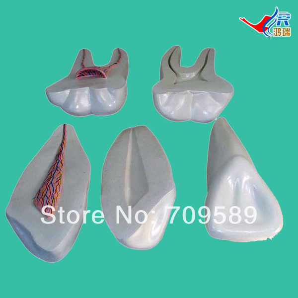 ISO Expansion Model of Human Teeth, Teeth Model iso sound auditory mediation model acoustoelectric control human hearing model