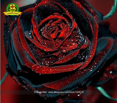 Flowers Seeds 200PCS True Blood Black Rose Rare Beautiful Rose Seed Exotic Plant Home Garden Bonsai Easy Planting Free Shipping