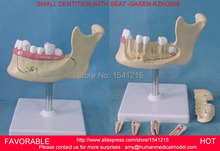 MAGNIFY DENTAL TEETH MODEL ORAL CARE TOOTHBRUSHING MODEL,ORAL DENTAL TEACHING MODELSMALL DENTITION WITH SEAT -GASEN-RZKQ008