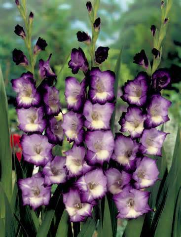 20 шт./пакет различных многолетнее цветок гладиолуса бонсаи, Редкий меч Лили бонсаи очень beautoful для дома садовое насаждение
