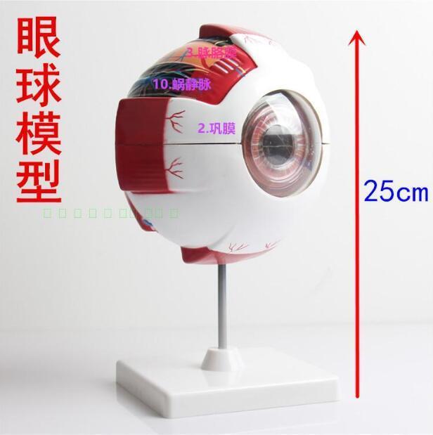 Modelo de Anatomía de ojos humanos, modelo de anatomía de ojos, Departamento de Anatomía de ojos, modelo de enseñanza de oftalmología