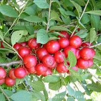 Fruit Gaiguo freshly collected plant Li Ou Shan Liren calcium plum plant small real shot 200g / Pack