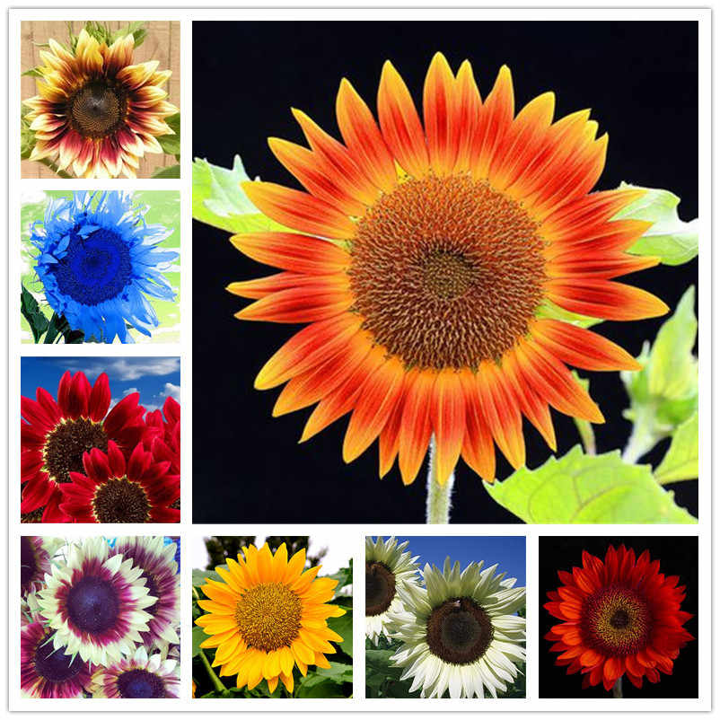 50 pcs/ bag Sunflower Bonsai 11 kinds Sun Fortune Bloom Garden Potted Plants Jardin Blooming Flowers Easy To Grow Free Shipping