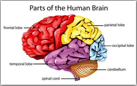 La Ciencia Del Cerebro Humano humano Diagrama Lóbulos Conocimiento ...