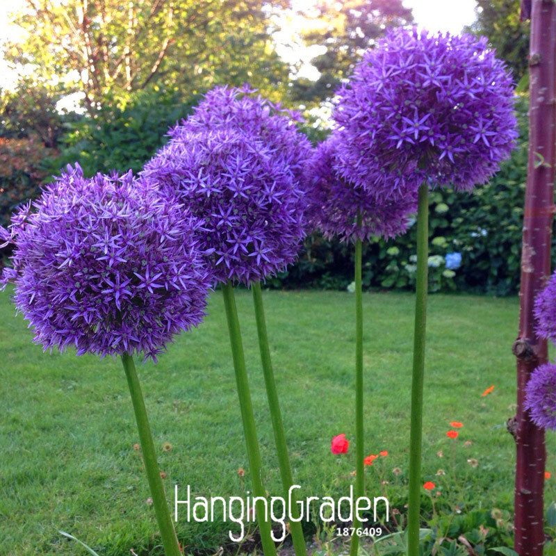 Exotic Onion Seeds Giant Allium Multicolor Potted Flowers White Purple Green