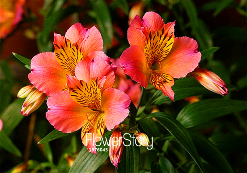 100 Seeds A Lot Promotion!Peruvian Lily, easy to grow,p
