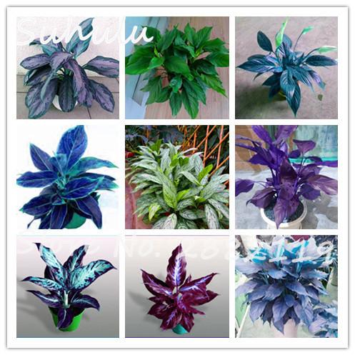 unids aglaonema hermoso mosaico de rboles de hoja perenne perenne semillas de flores jardn de