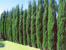 50 pcs/bag Pencil Point Juniper seeds rare tree seeds perennial plant ITALIAN cypress (Cupressus Sempervirens Stricta) seeds