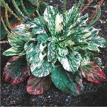 1 шт. семена Ванили, уникальные декоративные травы, может лечить ужалила Пестрые Подорожник (Plantago Major Variegata)