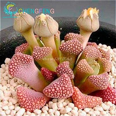 Popular flowering cactus plant buy cheap flowering cactus - Cactus da interno ...