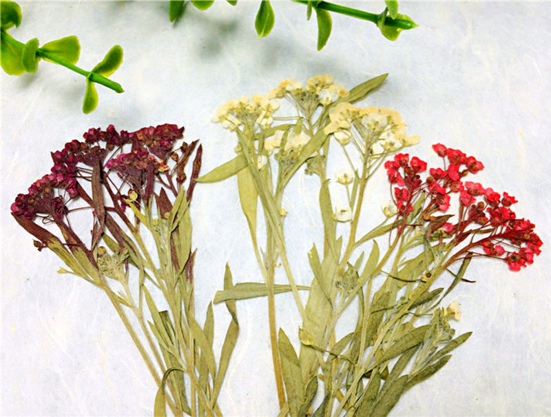 Sweet alyssum on Stems For Cristmas decoration Press for cell phone dried flower free shipment 1 lot / 120 pcs