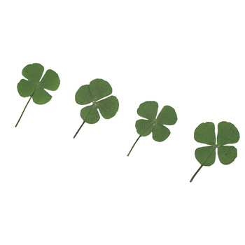 Combinación de la suerte seca Natural prensado seco trébol de cuatro hojas planta colgante collar proceso de producción de joyería Diy accesorio