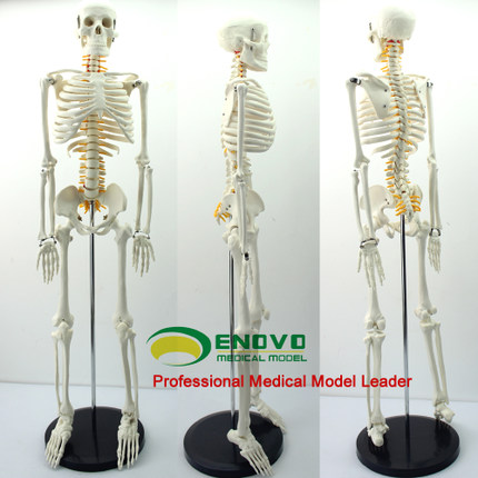 online get cheap human body nerves -aliexpress | alibaba group, Skeleton