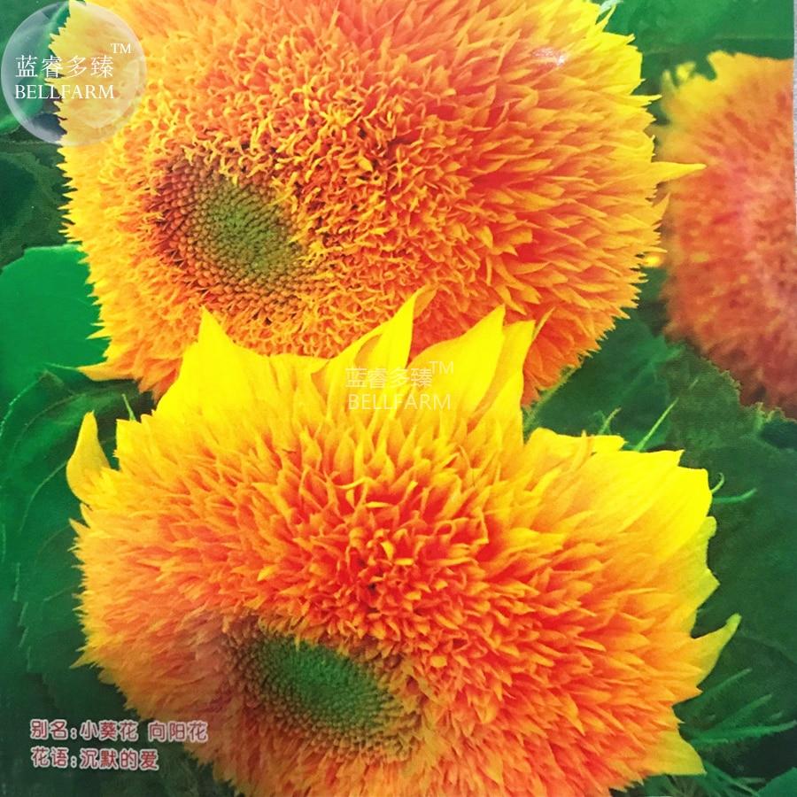 Bellfarm Bonsai Pleniflorous Fuzzy Sunflower Orange Big Blooms