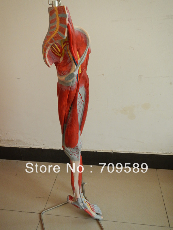 Iso Anatomical Muscles Model Of Leg With Main Vessels And Nerves
