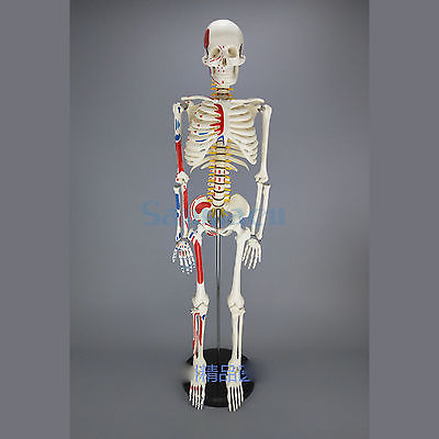 85CM Human Muscular Skeleton Model Muscle Painted Numbered Anatomical Skeleton Model Medical Learn Aid
