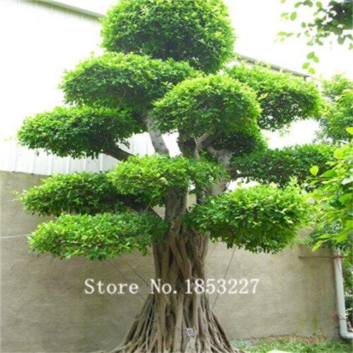 Bonsai ficus vender por atacado bonsai ficus comprar por - Variedades de ficus ...