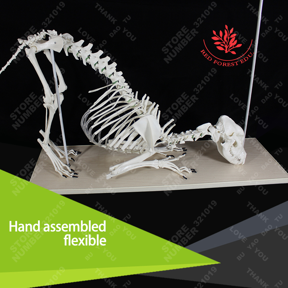 Vet study life size medical teaching pvc wolf dog skeleton model plastic standing human skeleton life size for horror hunted house halloween decoration