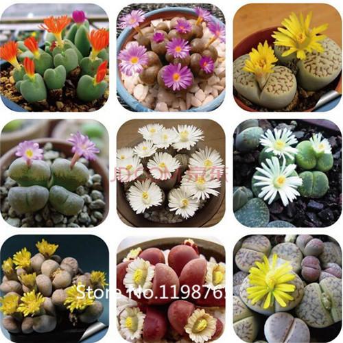 caliente raras semillas lithops mix piedras vivas cactus suculentas orgnicos jardn de flores a
