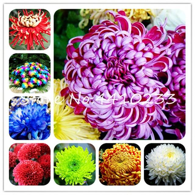 100 piezas China madre bonsái crisantemo Aster flor rara flor perenne interior bonsái flores plantas para jardín familiar