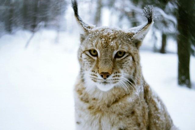 Felino Lynx Baffi Neve Mucchio Poster Animal Tessuto Di Seta Stampa