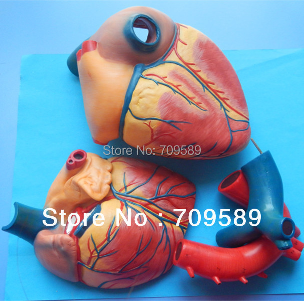 ISO Deluxe Jumbo Adult Heart Model, Anatomical Heart model