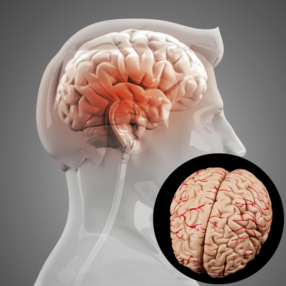 Disassembled Anatomical Brain Model Anatomy Medical Teaching Tool