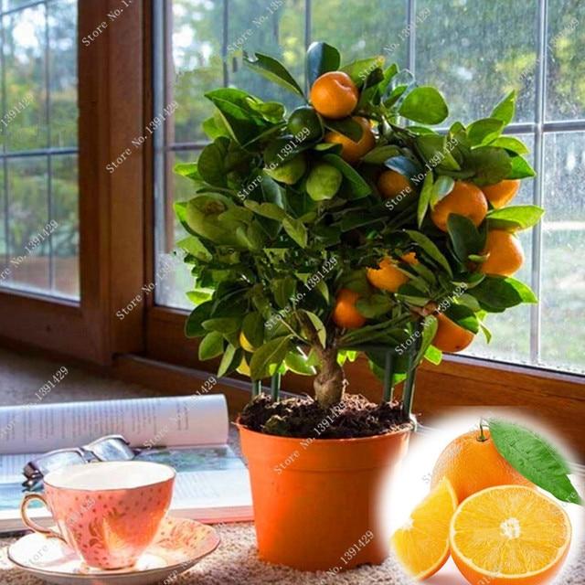 Dwarf Edible Fruit Bonsai Seeds, Mandarin Citrus Orange Seeds, Balcony Patio  Potted Fruit Trees