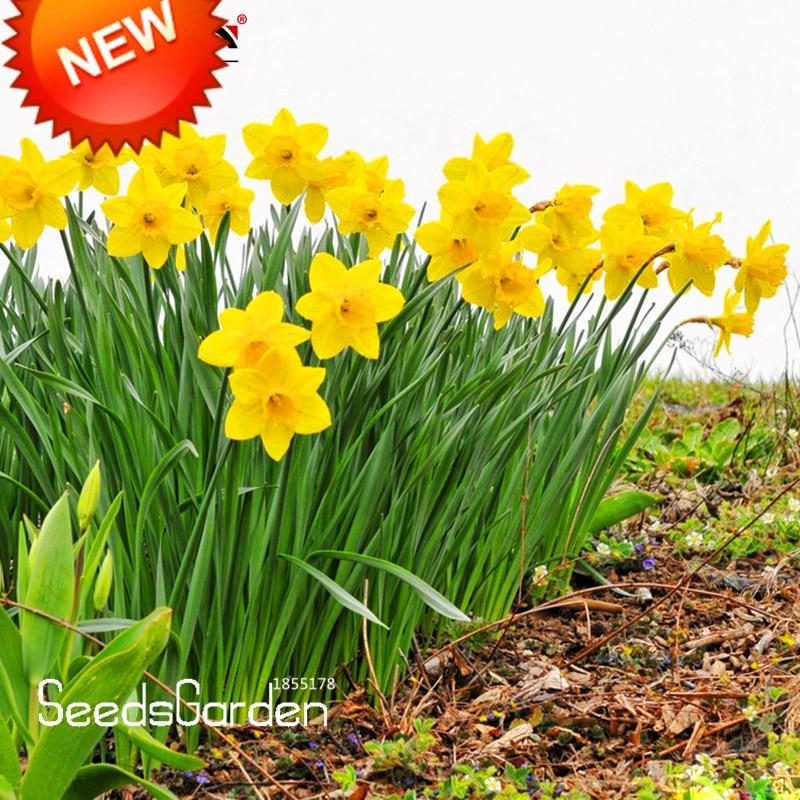 Big Sale!Yellow Daffodils Flowering Plants Daffodil S T