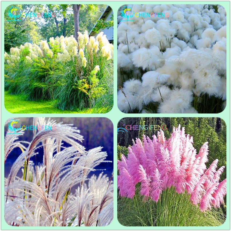 Free shipping new rare purple pampas grass seeds for Ornamental grass with purple flowers