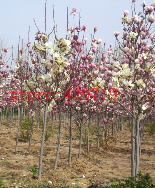 magnolia tree flowers seed for home garden