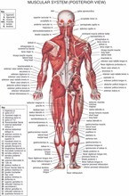 Human Body Anatomical Chart Muscular System Campus Knowledge Biology Classroom Wall Painting Fabric poster36x24  20x13-02