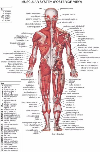 Human Body Anatomical Chart Muscular System Campus Knowledge Biology ...