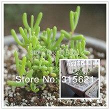 Dicrocaulon Ramulosum DROSANTHEMUM Hispidum Seeds10pcs здоровье зеленый сочные растения для домашнего офиса балкон